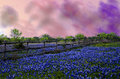 Texas blue bonnets under a stormy sky Royalty Free Stock Photo
