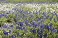 Texas bluebonnet Stock Photography