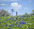Texas Bluebonnets on hillside with windmill in background Royalty Free Stock Photo
