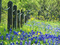 Texas bluebonnets in spring blooming and yellow wildflowers along a fence Stock Photo