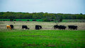 Texas cattle on an open ranch in spring welcome to central land the grass is green the cows are happy and the weather Stock Photography