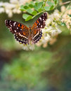 Texas crescent butterfly anthanassa texana perched on a flower Royalty Free Stock Photos