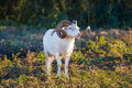 Texas Dall Sheep Ram Royalty Free Stock Photo