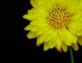 Texas false dandelion pyrrhopappus multicaulis op zwarte achtergrond wordt geïsoleerd die Stock Foto