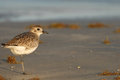 Texas gulf coast birding a small shore bird photographed on padre island national seashore in southern Stock Images