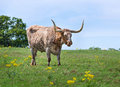 Texas longhorn Stockfotos