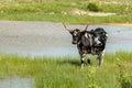 Texas longhorn black and white taken on a ranch near bertram Royalty Free Stock Photos