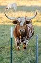 Texas Longhorn Bull, Driftwood...