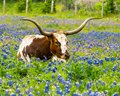 Texas longhorn bull resting in field of spring bluebonnets Royalty Free Stock Photo