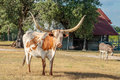 Texas Longhorns and the Windmill Royalty Free Stock Photo