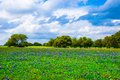 Texas Meadow Bluebonnet Field in Spring