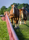Texas palominos gorgeous palomino horses on a farm in early morning light Stock Photography