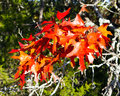 Texas red oak leaves Royalty Free Stock Photo