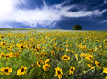 Texas sunflower field spring flowers bathed in sunshine Royalty Free Stock Image