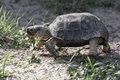 Texas Tortoise Walking