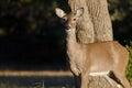 Texas White tailed Deer Doe Royalty Free Stock Photo