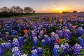 Texas wildflower -  bluebonnet and indian paintbrush filed in sunset Royalty Free Stock Photo