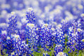Texas wildflower closeup bluebonnets in spring Stock Image