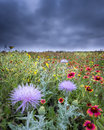 Texas wildflowers bull thistle flowers against a background of indian blankets sunflowers and other Stock Image