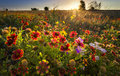 Texas Wildflowers at Sunrise Royalty Free Stock Photo
