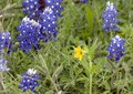 Texas Yellow Star Lindheimera Texana, Surrounded By Bluebonnets Along The Bluebonnet Trail In Ennis, Texas
