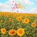 Text hello summer with sunflower field Royalty Free Stock Photo