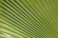 Textura da palma Foto de Stock Royalty Free