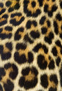Textura da pele do leopardo (real) Foto de Stock