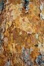 Textura de la corteza del pino. Imagen de archivo libre de regalías