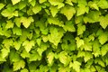 Textura fresh green leaves Royalty Free Stock Photo