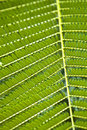 Texture of Acacia leaves. Royalty Free Stock Images