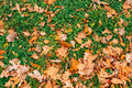 Texture of autumn leaves. Yellow oak leaf litter on the floor in Royalty Free Stock Photo