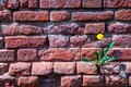 Texture and background from the wall of old red bricks. Dandelion growing on a wall of bricks. Royalty Free Stock Photo