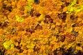 Texture of beautiful yellow and orange flowers Stock Photo