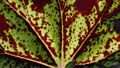 Texture of begonia leaf in the garden Stock Image