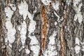 The texture of the birch bark
