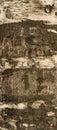 Texture Of Birch Tree Bark Cov...