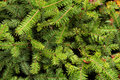 Texture of conifers Royalty Free Stock Photo