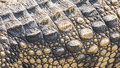 Texture crocodile skin the detail of Royalty Free Stock Photos