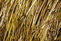 Texture of culm straw Royalty Free Stock Photo