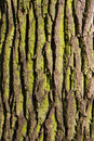 Texture deciduous tree with green moss on the bark Stock Images
