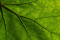 Texture detail and pattern of a plant leaf fig veins are the similar structure to tree Royalty Free Stock Photo