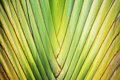 Traveler palm stalk Royalty Free Stock Photo