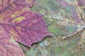 Texture of the dried maple leaf abstract a closeup for backgrounds Royalty Free Stock Photos