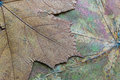 Texture of the dried maple leaf abstract a closeup for backgrounds Stock Photo