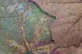 Texture of the dried maple leaf abstract a closeup for backgrounds Royalty Free Stock Images