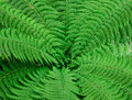 Texture of fern leaves Royalty Free Stock Photo