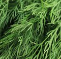 Texture of fresh dill herb close up. Royalty Free Stock Photo