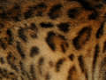 The texture of fur wild animal leopard Royalty Free Stock Photo