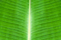 Texture of green banana leaf for backgrond Stock Image